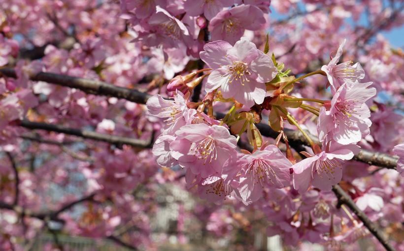 歩いて昼飯 淀水路の河津桜