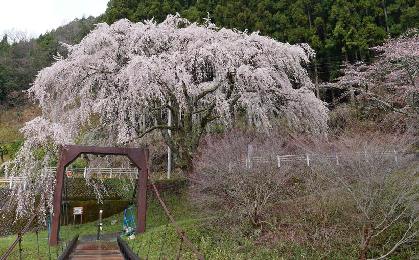 京都人の密かな愉しみ その10 洛北・花背「逢瀬の桜」の魚ヶ渕吊り橋