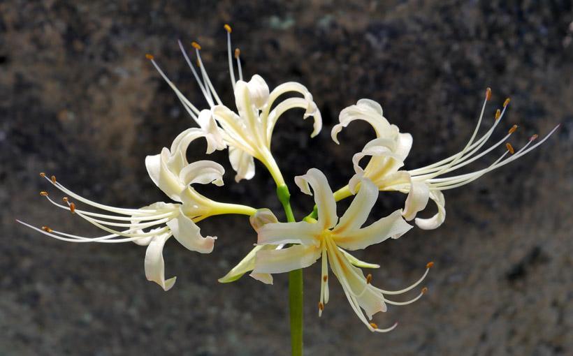 宇治 興聖寺と白い彼岸花