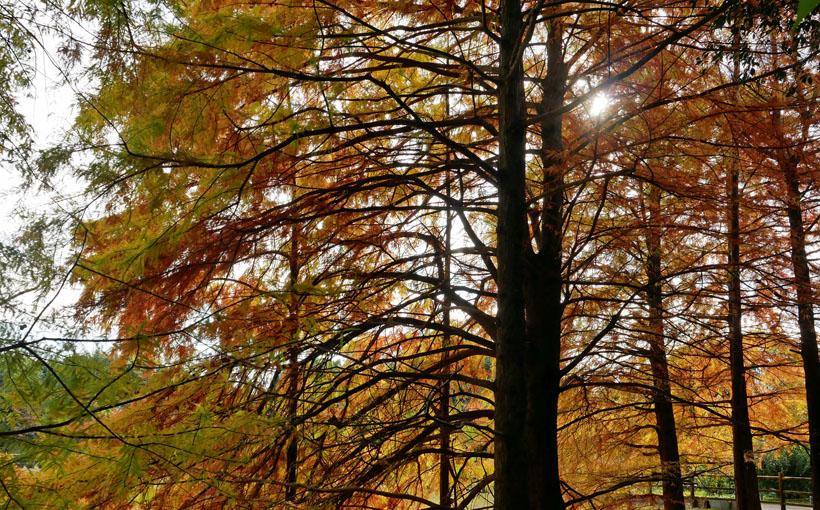 宇治市植物公園 ラクウショウの紅葉と chou-choの「プチドルチェ」