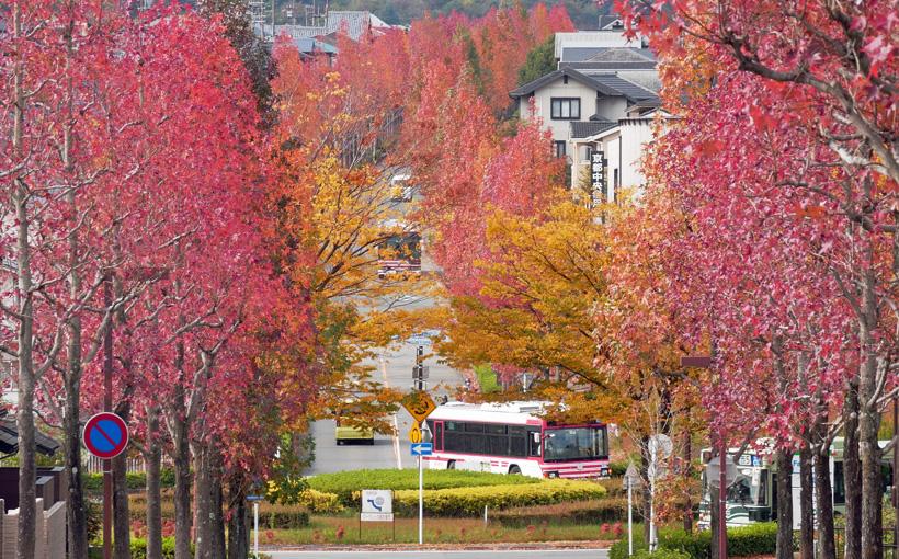 京都・桂坂 モミジバフウの並木道