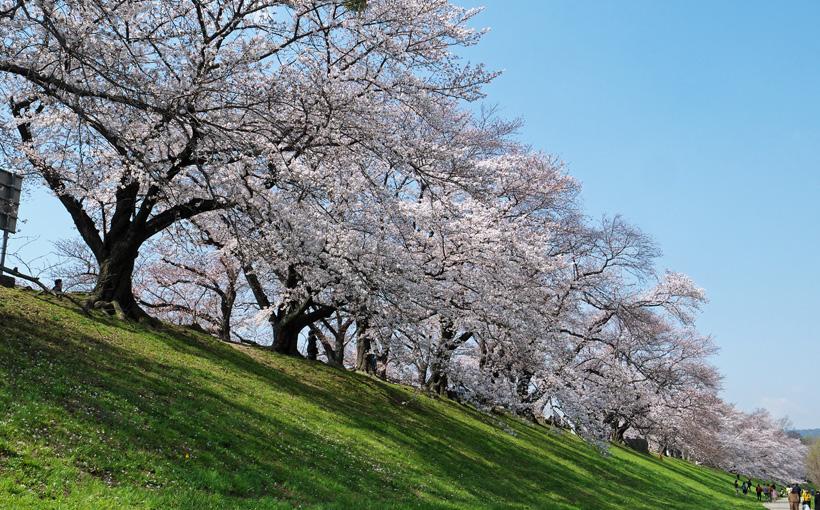 背割堤の桜 2021 花の密は大歓迎