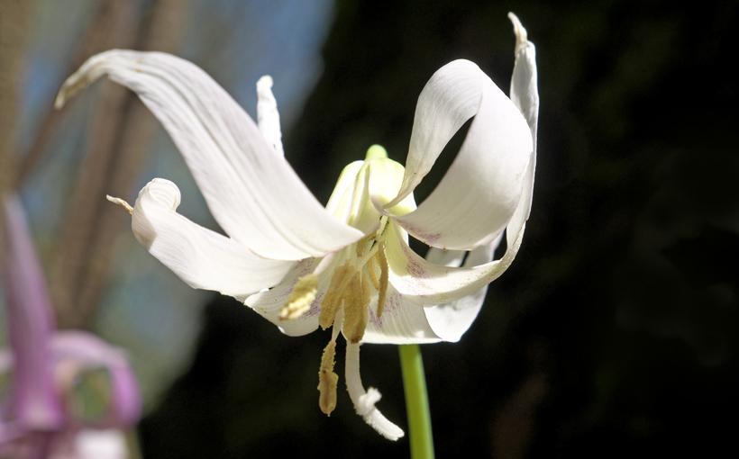 小塩山のカタクリの花 2021