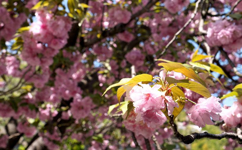 京都・大山崎 パヴェナチュールのまだ満開の八重桜