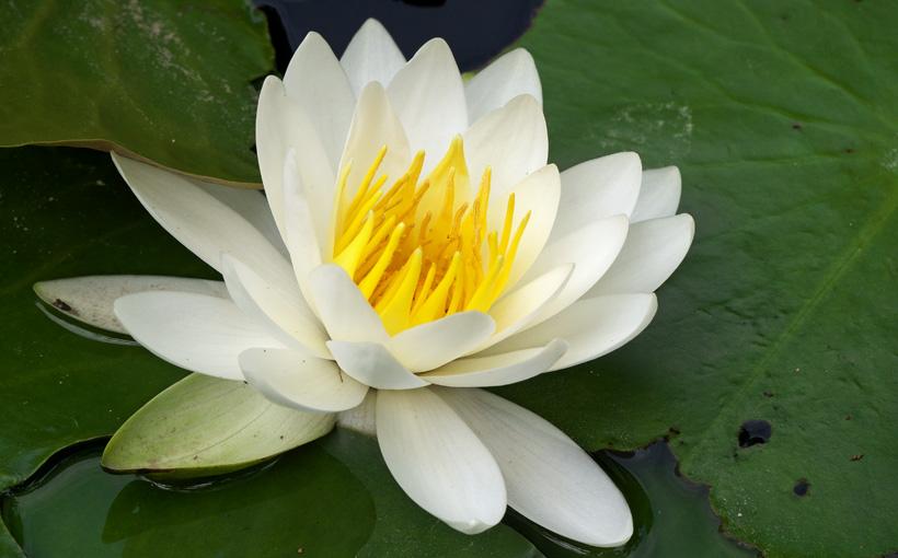 京都・洛西 大原野神社の睡蓮