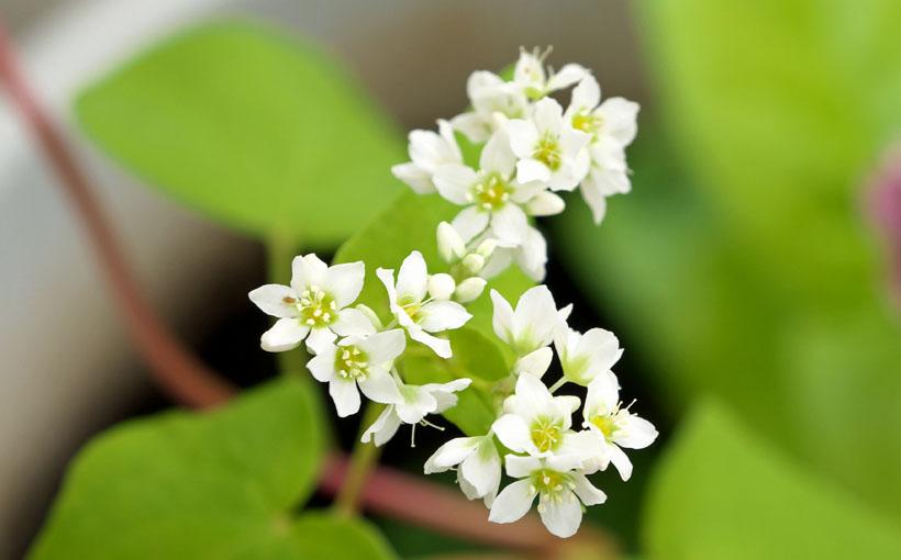 そばの白い花が咲く